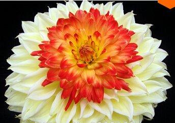 20seeds Rare Blanc Rouge Dahlia Graines de Charme Fleur chinoise Graines Plantes Bonsai Pour Garden Prix de gros