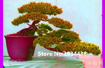 Vente chaude 50pcs cyprès Platycladus orientalis graines de thuya orientales graines Conifer bricolage maison jardin