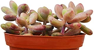 1 Live Plant Succulent Pachyphytum Oviferum 'Pink Moonstone' 4