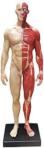 UWY New Orleans Mall Dedication 11Inch Human Anatomy Figure Male PU Model -