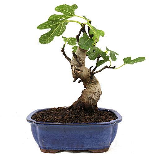 Bonsái, Higuera, Ficus carica, 10 años, altura 41 cm