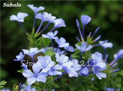 Belle Bonsai Blanc Saxifraga « Neige de printemps » Graines de fleurs vivaces De jardin les plus populaires Nature Plantes à effet de serre 120 Pcs 11