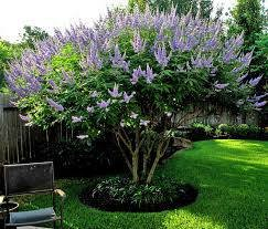 1 Texas Lilac Vitex Trees - Live Plants - Quart Containers - Purple Blooms - 6-12 inches Tall - Crape Myrtle Guy