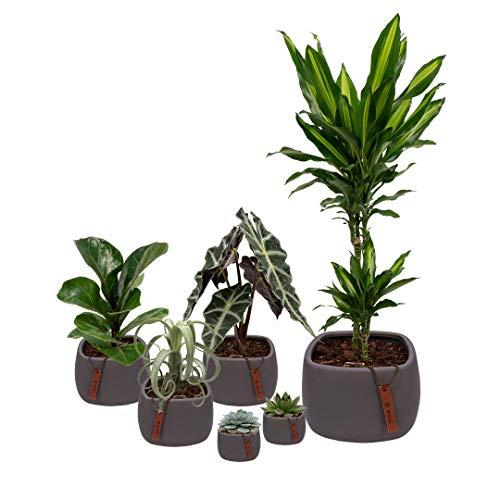 Set van 6 planten met bijpassende grijze plantenpotten - kamerplanten voor binnen met verschillende groottes - Kurt
