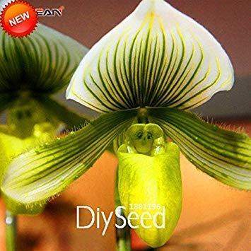 50 Stück Topf Peru Monkey Face Orchid Samen, Affen-Knabenkraut Ältere Phalaenopsis Pflanzen Blumensamen, Plus-Mysterious Geschenk