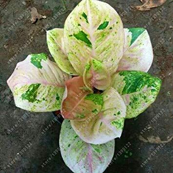 Vistaric 50 pcs/bolsa Aglaonema 'Pink Dud', hermosas plantas de mosaico, perennes, árboles de hoja perenne, semillas de flores, planta de interior, maceta de jardín 11