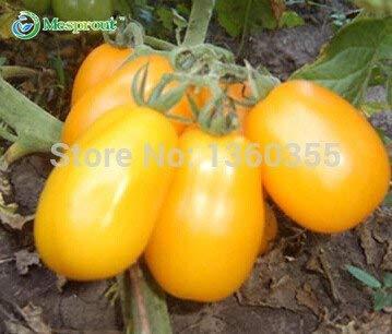 Les graines de tomates, fruits et graines de tomates cerises jaunes, le lait tomate jaune, environ 100 particules