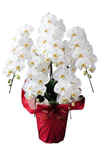 花由 産地直送 期日指定可 胡蝶蘭 コチョウラン <50輪以上・5本立ち><白系>