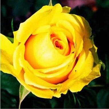 Pots de fleurs jardinières, 20 sortes de 100 graines, Rainbow Rose graines belle rose graines bonsaïs graines pour la maison et le jardin 13