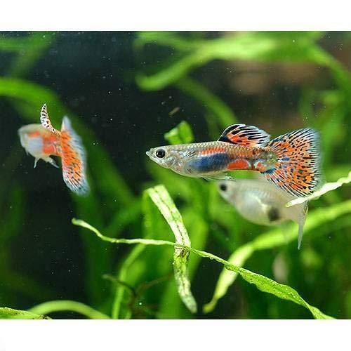 (熱帯魚)レッドグラス・グッピー(国産グッピー)(3ペア) 北海道・九州航空便要保温
