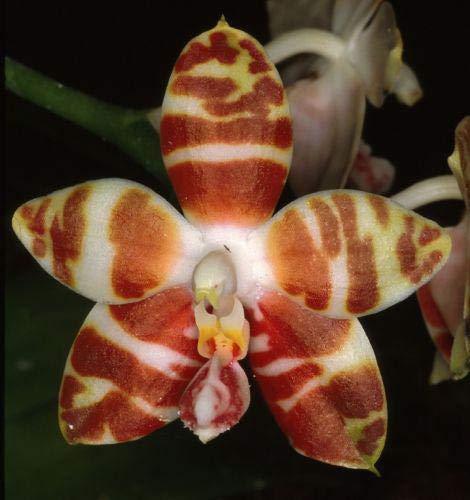 Green Seeds Co. Orchidee pflanzen diy pflanze blume phalaenopsis Sementes * 2016 home bonsai pflanzen Regenbogen Orchideen bonsai 30 STÃœCKE kaufen 2 taschen + rose gif: Hellgrau