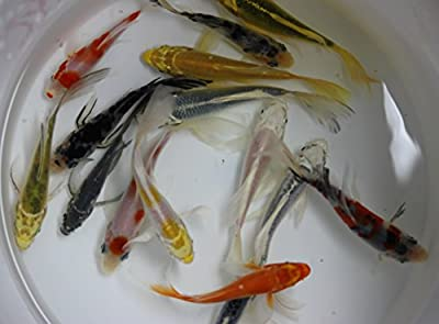 5 inch 5 Pack Butterfly koi for Aquarium Fish Tank or koi Pond
