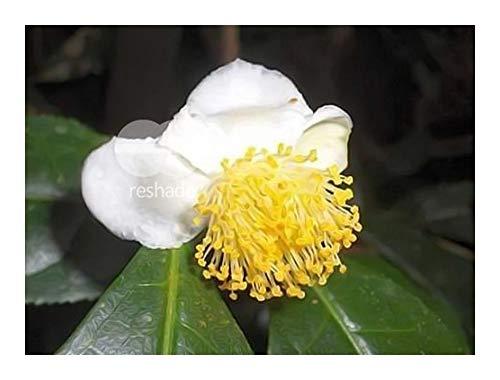 Chinois Thé (Camellia sinensis feuilles sinensis) 5 graines * * * * * * * * * * * * * * * *