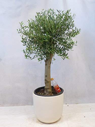 [Palmenlager] Olivenbaum Olea europea 160 cm - Kugel-Hochstamm - dicker Stamm (Umfang 20/25 cm)
