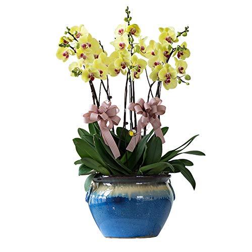 Yellow Butterfly Orchid Seeds 20 Stück (Phalaenopsis aphrodite) Bio-Motte Orchidee Blume Frische Premium-Pflanzen Samen zum Pflanzen Garten Indoor Yard