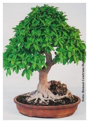 TROPICA - Ficus ginseng (Ficus rmicrocarpa) - 20 graines- Bonsai