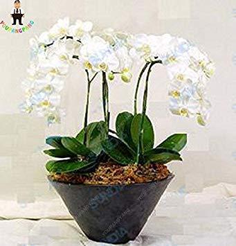 100 piezas de 20 tipos de semillas de orquídeas perenne de flores en macetas de plantas ornamentales Bansai Semillas para el balcón & Plant patio del jardín de DIY Blue Sky