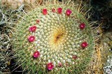 Mammillaria neopotosina exotique cactus floraison coussin cactus rare 100 graines