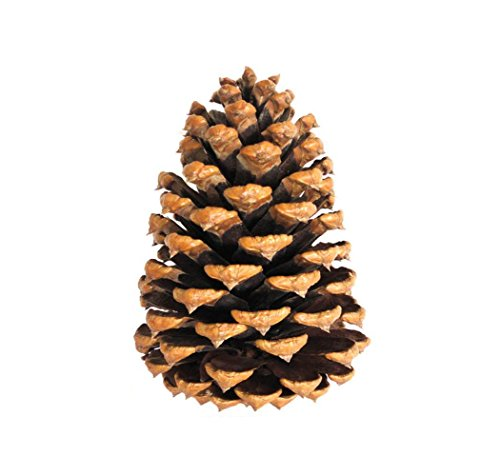 Natural Large Pine Cones For Crafts Buy Online In Macedonia At Desertcart