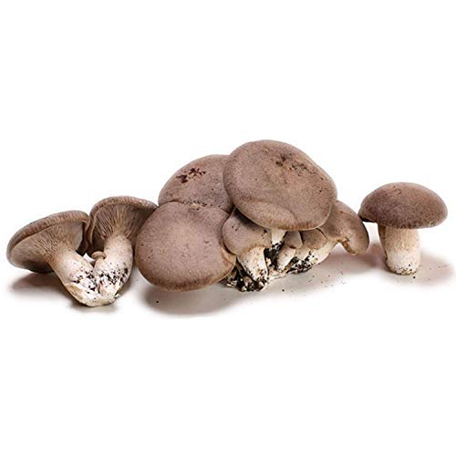 kit coltivazione funghi lt 7,5 pleurotus cardoncello eryngii substrato serra semi