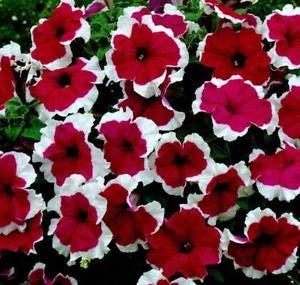 Très rare Picotee Petunia Seeds, 50 graines/Pack, Bonsai Nain Pétunia Fleur plantes pour jardin Facile à cultiver!
