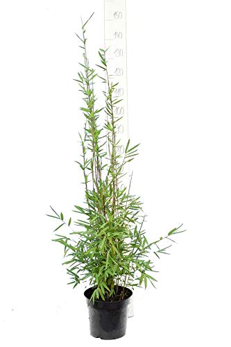 Bambus - Fargesia nitida Black Pearl - Höhe 100-120 cm - 5 Ltr. Topf