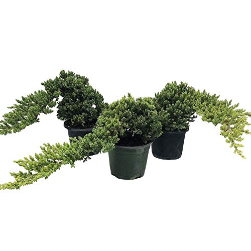 Healthy Bonsai Tree Windswept Junipers - Easy to Care for + Responds Well to Wiring and Reshaping, Strictly an Outdoor Bonsai Tree, Can be Added to a DIY Kit - 3 Tree Set