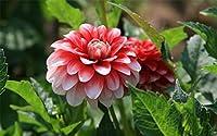 芍薬の球根&植えやすいプレザント希少種特別見事な生きている植物大きな花束,2球根