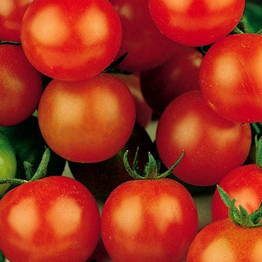 Sweetie Cherry Tomato Certified Organic Seeds (20+ Seeds)