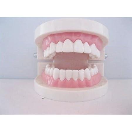 歯列 模型 実物大 モデル 180度 開閉式 マイクロファイバー クロス セット