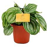 Peperomia Argyreia Plante d'Intérieur pour la Maison ou le Bureau (de 15 à 25 cm en pot)