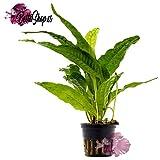 Tuerca Planta Micro sorum Pteropus Java Helecho, acuarios Plantas, plantas de agua
