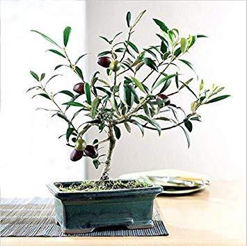Potseed . 15pcs / Packung Olivenbaum (Olea europaea), Mini Olivenbaum, Olive frischer exotischer Baum