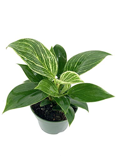 Philodendron Birkin - Live Plant in a 4 Inch Growers Pot - Philodendron Hybrid - Extremely Rare Indoor Air Purifying Houseplant