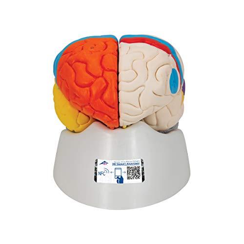 3B Scientific C22 Cerebro Neuro, Anatómico, desmontable En 8 Piezas - 3B Smart Anatomy
