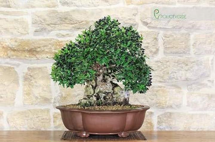 Bonsai di mirto pumila (1) pollice verde B08P8TG6BK