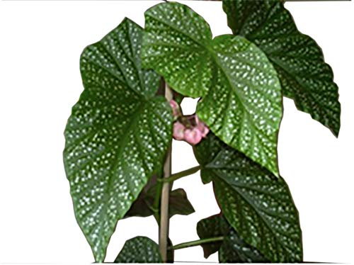 Angel Wing Flowering Begonia Live Plant in Plastic Pot