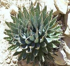 Agave utahensis Nevadensis Exotique Rose Aloe Succulent Hardy 100 graines plantes semences