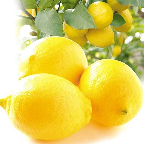 国華園 和歌山産 国産レモン 3�s 1組 柑橘