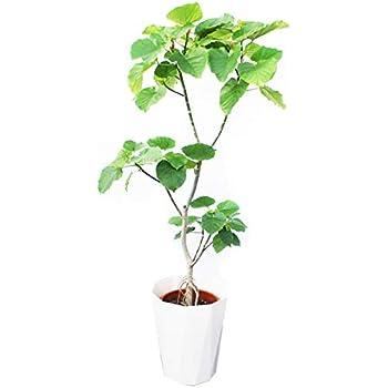フィカス ウンベラータ ゴムの木 10号 大鉢 観葉植物 本物 大型 インテリア 10号鉢 尺鉢