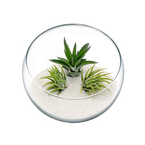 Air Plant Terrarium Kit - 3 Live Tillandsia Air Plants with Colored Sand in 5.5' Glass Bowl Sitting...
