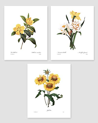 (Set of 3) Botanical Art (Yellow Flower Prints, Redoute French Home Wall Decor) Daffodil, Sunflower – 8x10 Unframed