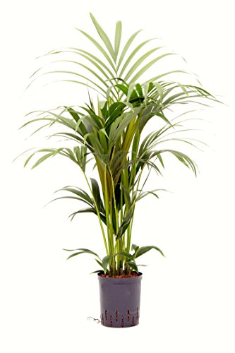 Kentiapalme, Howeia forsteriana, Zimmerpflanze in Hydrokultur, 18/19er Kulturtopf, 90-110 cm