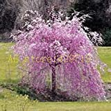 Nuovo arrivo!!! 20 pz fontana piangente ciliegio, giardino domestico di DIY Albero Nano, ornamentale-pianta semi di albero bonsai sakura per la casa