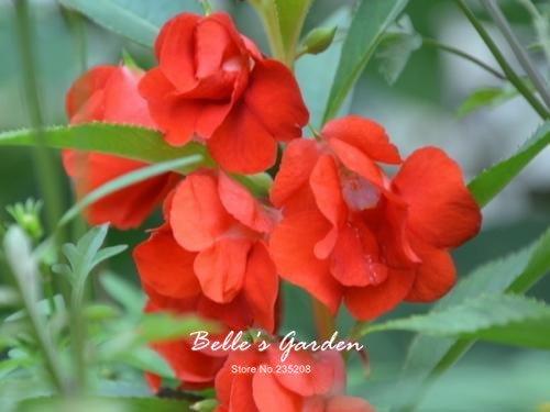 100 pcs / sac de graines de Balsamine, belle plante de fleurs Accueil Jardin Fleurs en pot semences intérieur Graines Bonsai 1