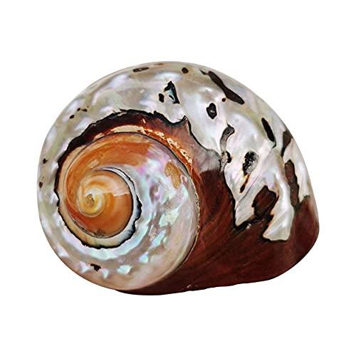 Caracol de Concha de Coral de Concha de mar Natural, decoración de Paisaje de pecera de Acuario, 1 Piezas (Aproximadamente 8 cm-9 cm de diámetro)