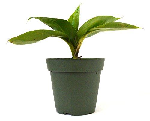9Greenbox - Dwarf Banana Plant - 4' Pot