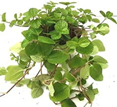 CAPPL Lush Green Pilea Nummularifolia Green Color Plant (Pot Included) with Fertilizer & Plate Free