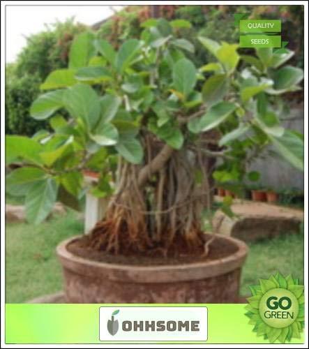 Seedsown Bonsai Semillas adecuados árbol de Banyan árboles más grandes en el mundo por la cobertura del pabellón Un árbol notable de la India Semillas Huerto de Semillas Semillas Paquete