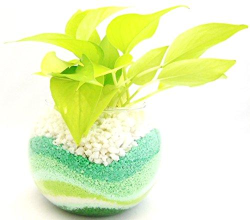 観葉 植物 ライムポトス ハイドロカルチャー ガラス植え グリーン ボウルS お手入れ簡単 お祝い ギフトに最適 室内で安心な土を使わない 水耕栽培 お部屋にグリーンを置いてきれいな空気でリラックス